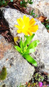 Yellow flower amongst rocks
